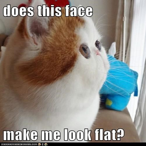 cat Cats eyes face fat flat flat face cat weird