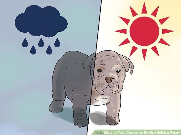 Image titled Take Care of an English Bulldog Puppy Step 22