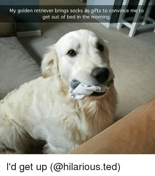 Funny Ted and Golden Retriever My golden retriever brings socks as ts to