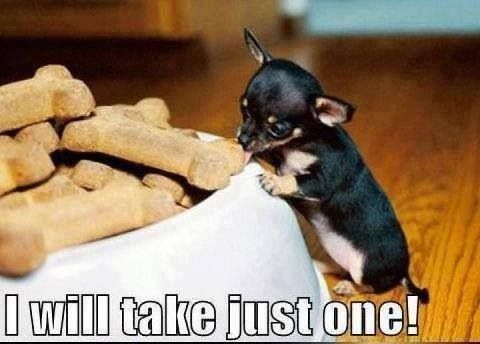 tiny Chihuahua puppy trying to eat a big bone cookie