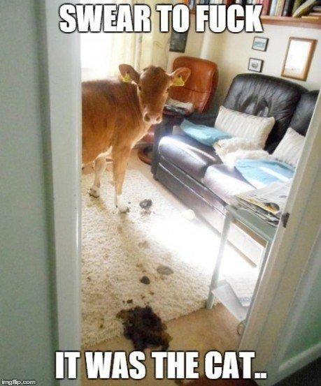 cow cat mess poop