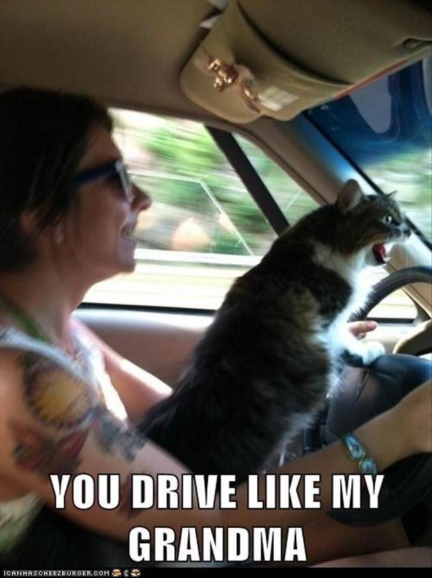 funny cats driving a car