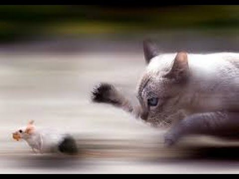 Fight Cat VS Mouse mouse kills the cat funny Cat don t click it s wast of time