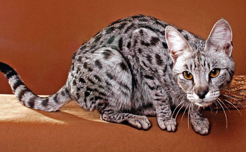 Silver F1 Savannah Cat