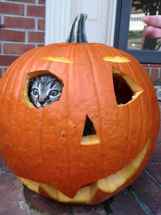 Cat In Pumpkin Funny Halloween
