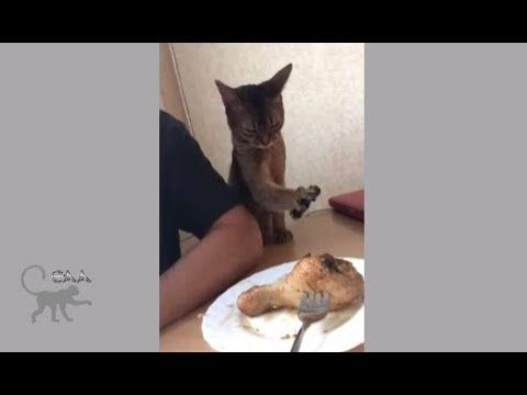 Funny cat tries to lie to steal food