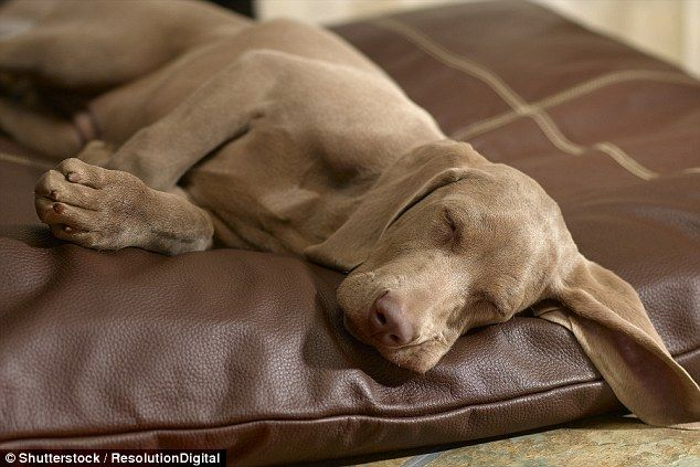 People often wonder whether dogs that seem to be running during sleep are dreaming of catching