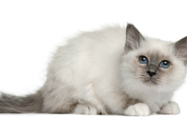 Soft as a silk sweater Birmans have a longer ruff around their necks long fluffy tails and wear pristine white gloves on all paws