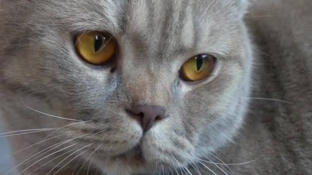 Close up beautiful scottish fold cream tabby lop eared with big yellow eyes