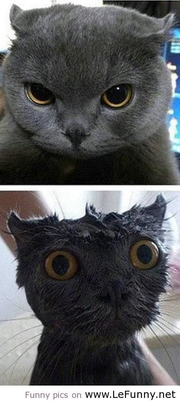 Funny cat after bath