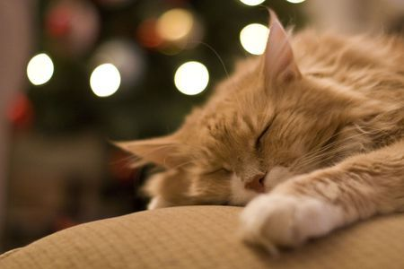 sleeping cat in front of christmas tree 5a089a93beba c59e5c