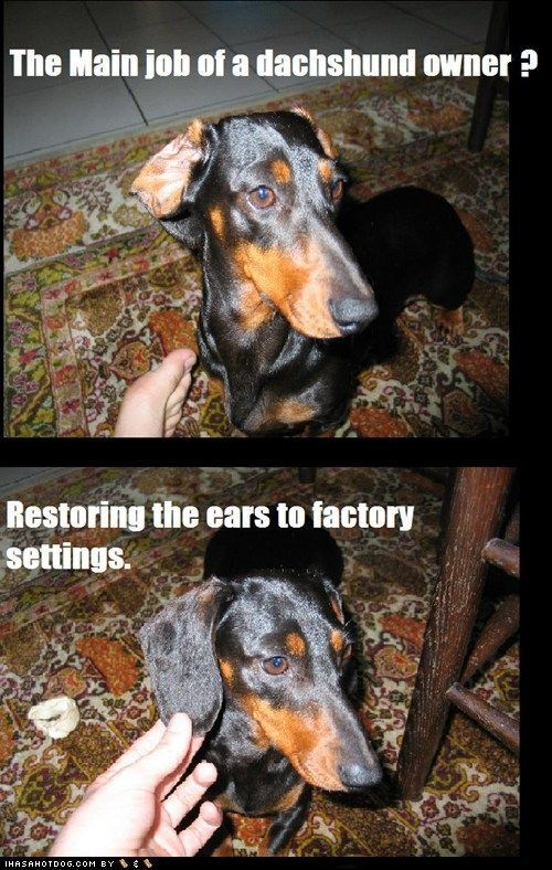 I think my dog is part Daschund part coonhound but this is a mon occurrence in our household