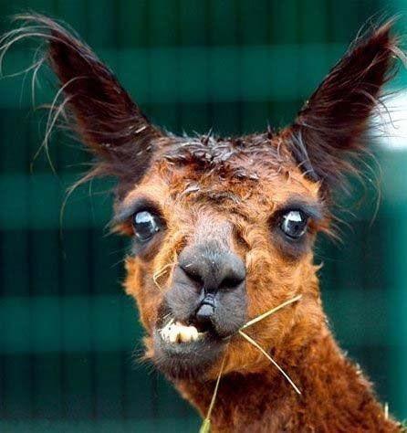 Llama Face Llama Llama Funny Llama Llama Puns Funny Humor El