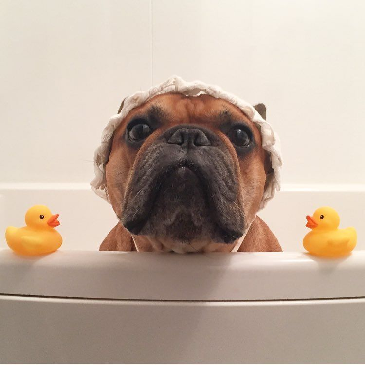 """""""lets do this"""" French Bulldog on Bath Day """""""