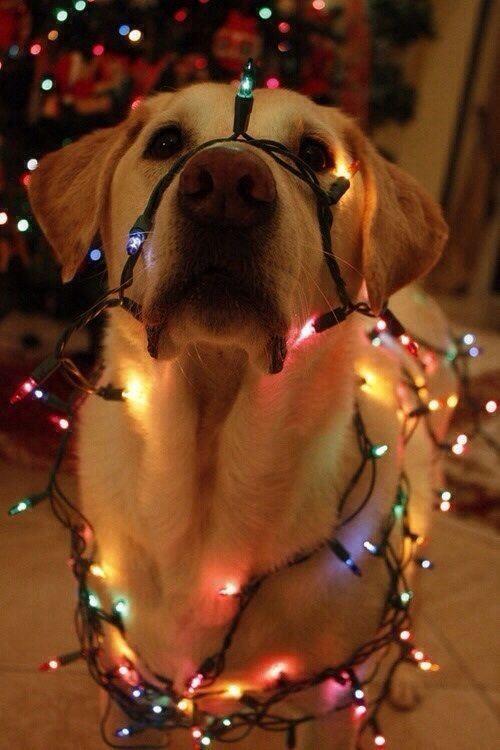 Yellow Lab and Christmas Lights christmas card idea