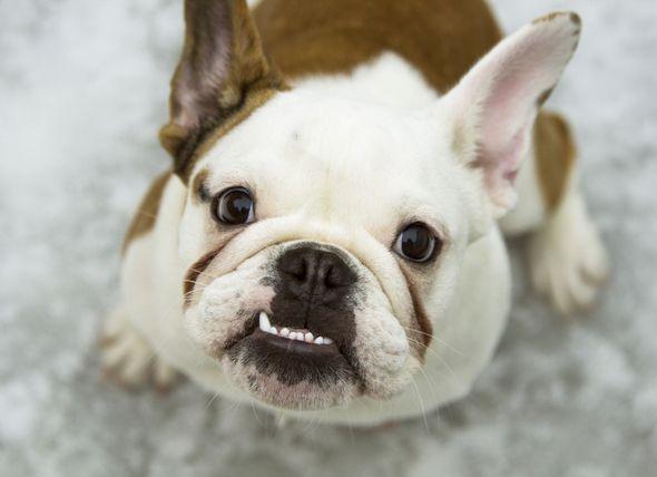 Pneumonia Aspiration in Dogs