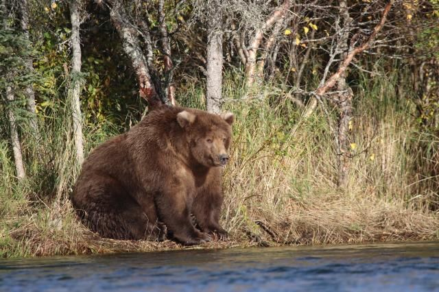 A shaggy brown and possibly pregnant mother bear known as 409 Beadnose crowned on