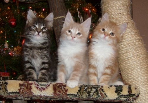 Find the Awesome Funny Maine Coon Cat Pictures