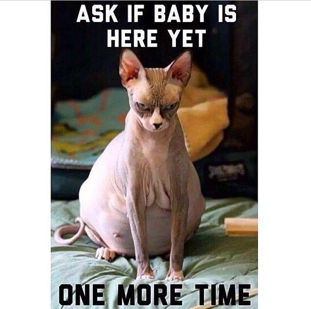 Pregnant Sphynx Cat Memes of tumblr