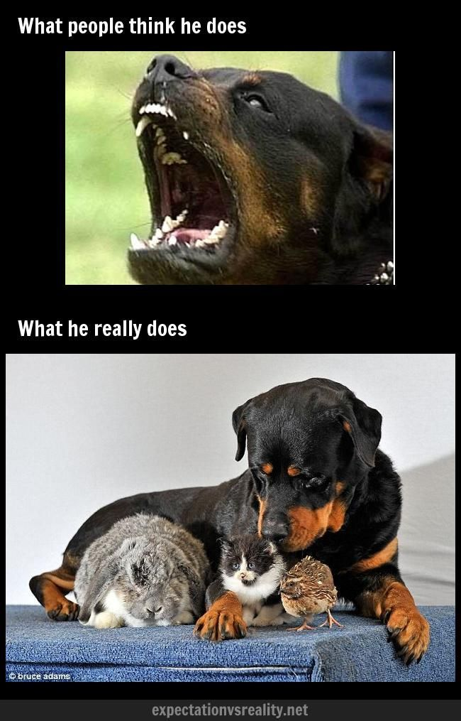 Image detail for Neighbor s Rottweiler