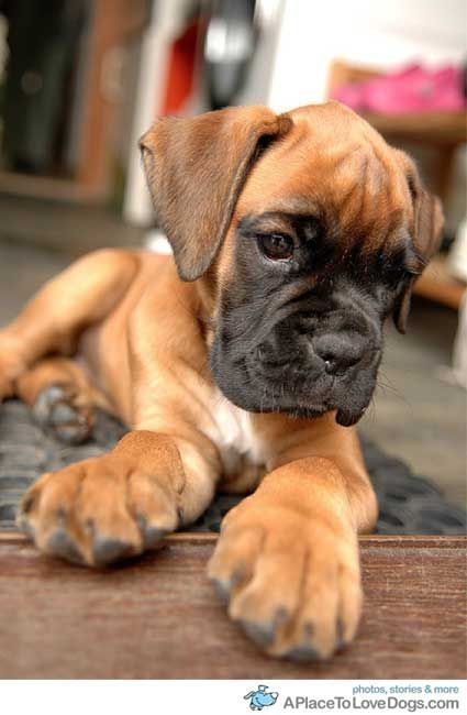 I am In LOVE with boxers I will have one in the future and her name will be KAI 3