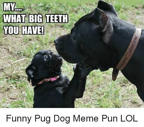 Funny Lol and Meme MY WHAT BIG TEETH Funny Pug Dog Meme Pun