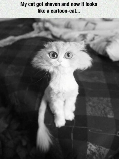 Cats Funny and Cartoon My cat got shaven and now it looks like