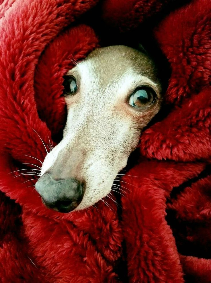 Brrrr s cold outside Diego the Italian Greyhound