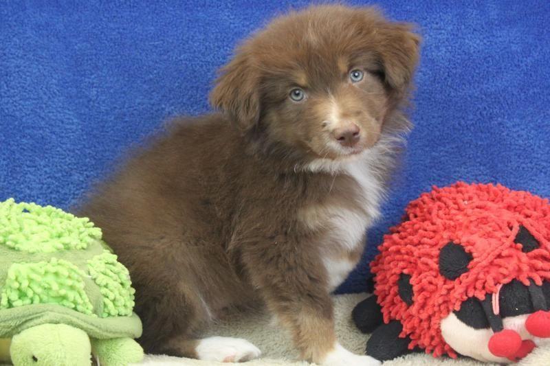 Australian Shepard Cute Little Animals Aussies Australian Shepherd Beautiful Boys Puppy Love