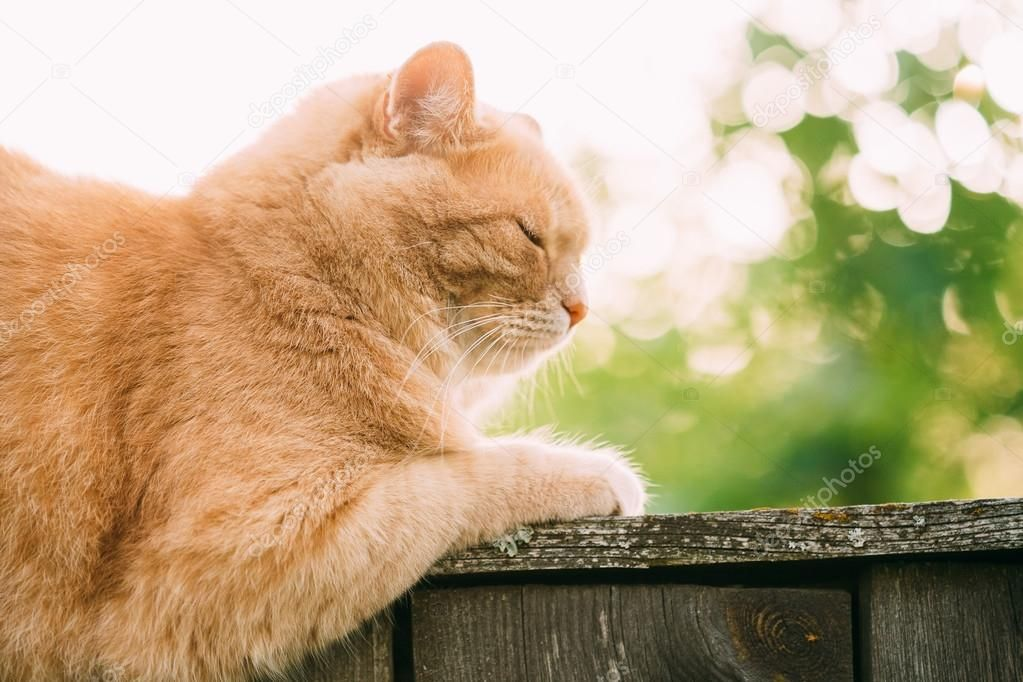 Funny Fat Red Cat Sitting Fence In Summer Sunny Day Close Up — Zdjęcie od Ryhor