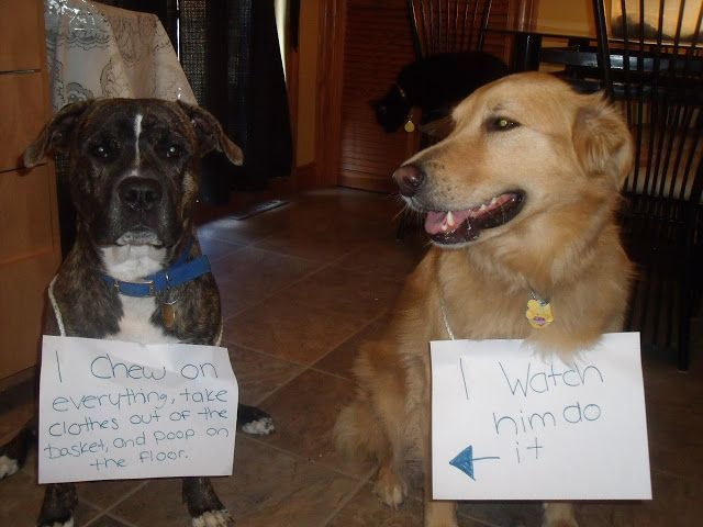 Dog Shaming I Hump Other Dog s Faces