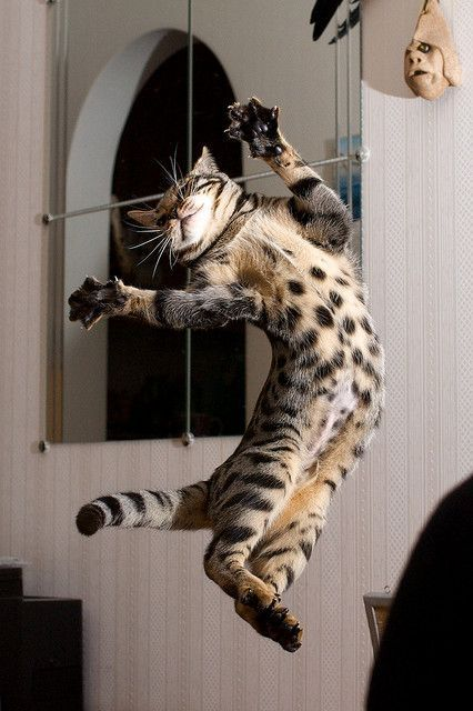 Anti gravity Bengal Cat Enjoys a Leisure Floating Around Funny Animals Funny Cats