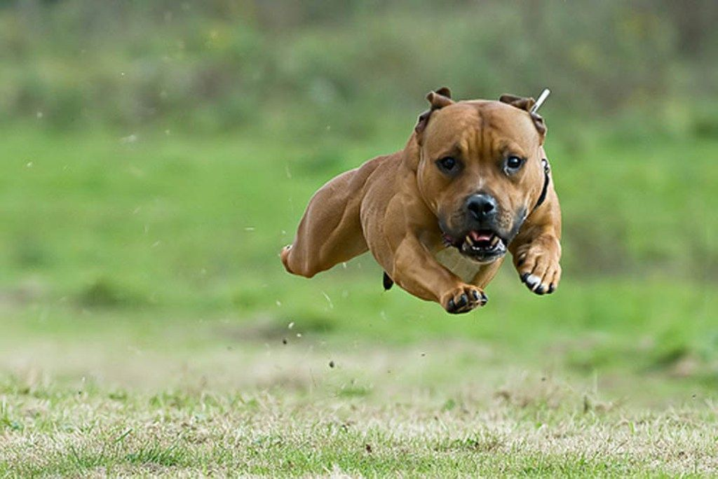PsBattle Staffie leaping