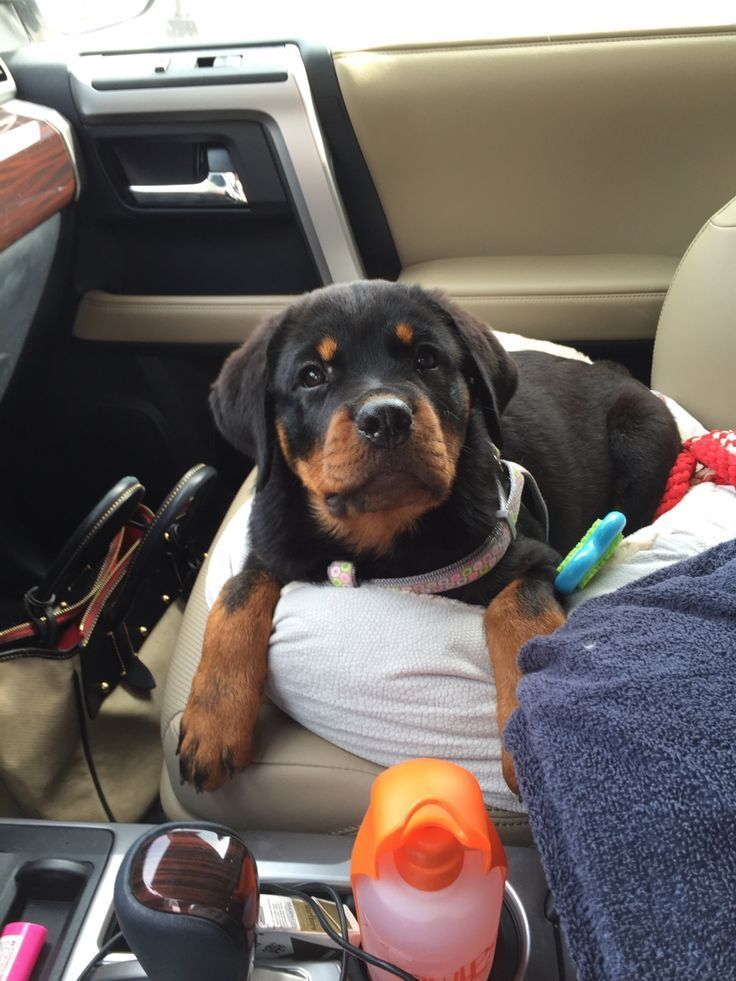 Rottie pup ready for a road trip Rottweilers Pinterest