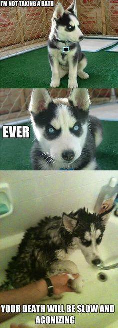 and taking baths Husky Humor Funny Husky Meme Funny Husky Funny Dog