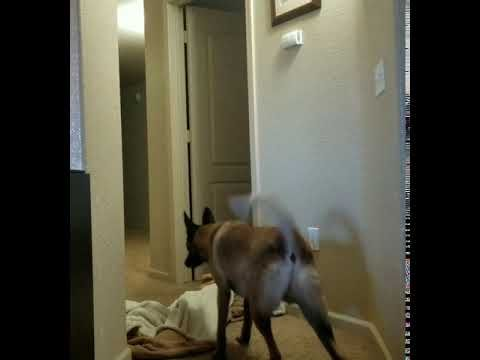 Vibes dog in hallway scared by disappearing blanket magic trick