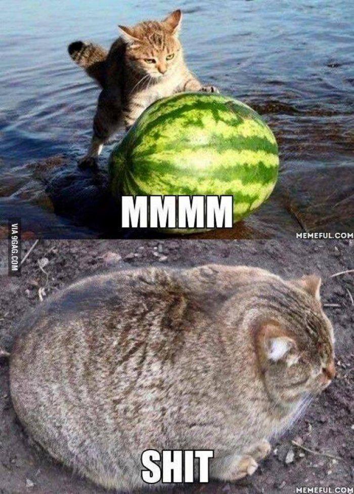 Funny fat cat meme