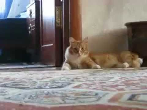 Scared cat walks funny