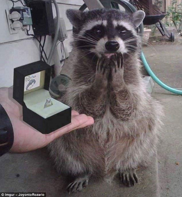 A meme worthy raccoon if ever there was one and a shopped engagement p