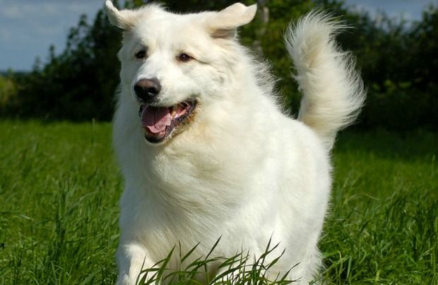 long haired dog breeds main