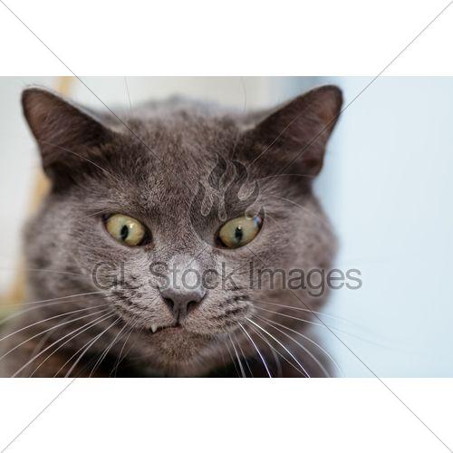 Funny Cat Face British Shorthair Cat Close Up
