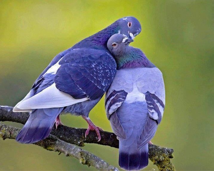Love is cute Sometimes but these pigeons are too stinkin cute