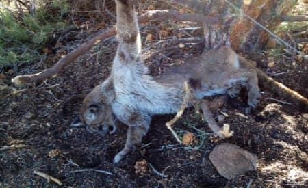 Wyoming won t legalize mountain lion trapping