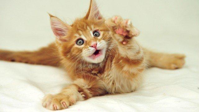 Zoom Funny Humor Cat Kitten Wallpaper