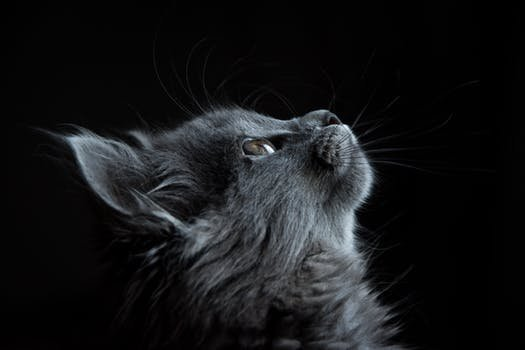 of Gray Cat Looking Up Against Black Background