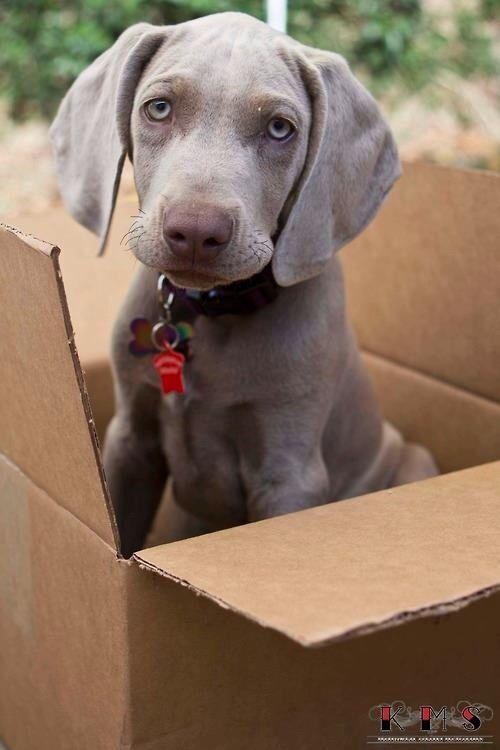 Levi 3 month old Weimaraner Puppy