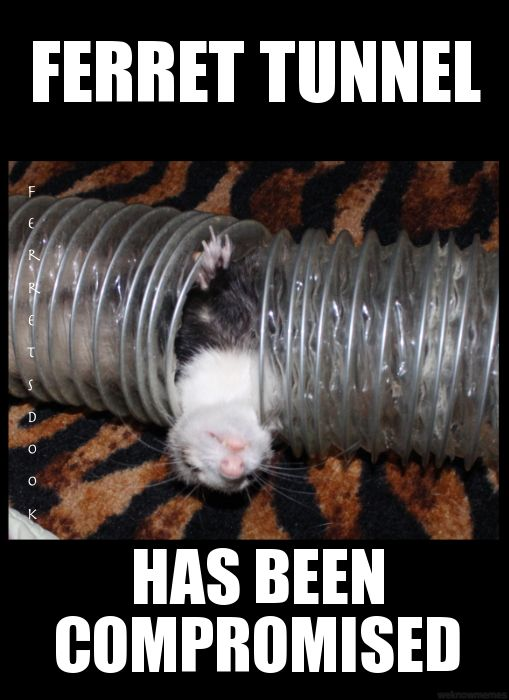 ferrets cute animals ferret funny for kids forever
