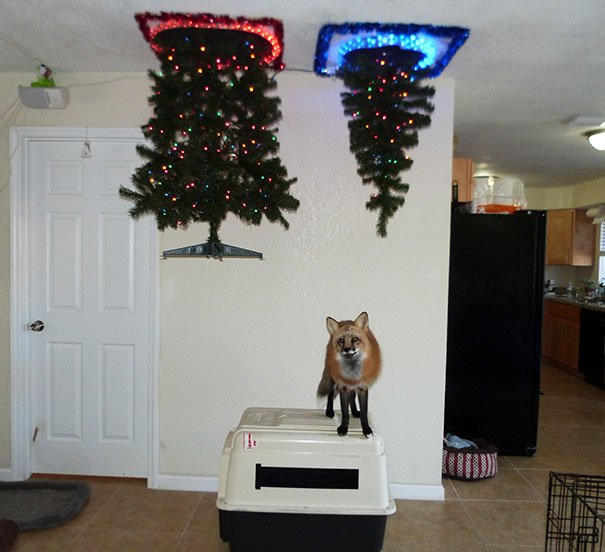 1 The Best Way I Could Put Up A Christmas Tree With A Fox In The House