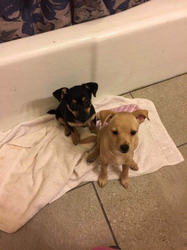my to puppies are some cute a joy for me they are seting in the bathroom waiting me ready for work