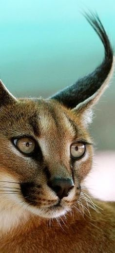 Caracal Desert Lynx Funny Cats Cute Cats Big Cats Funny Animals
